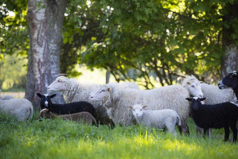 Marskogens får